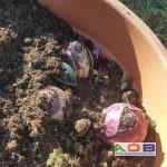 Lasagnelaag 3 Hyacinthus 'Purple Sensation'