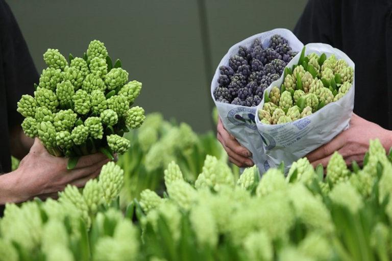 hyacinten voor Nationaal AYA Platform
