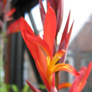 Canna indica Picture David Pilling