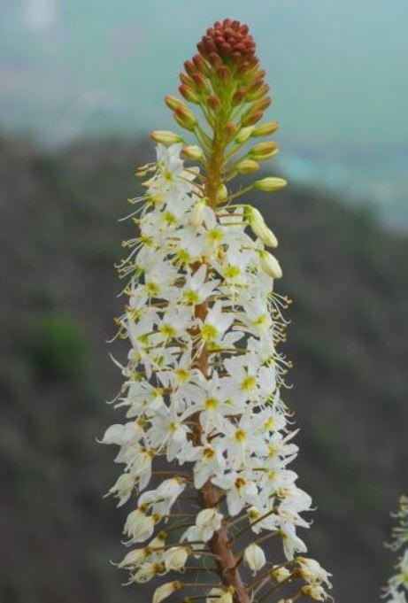 Eremurus lactiflorus Picture Oron Peri