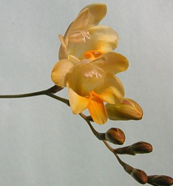 Fresia corymbosa Picture Mary Sue Ittner