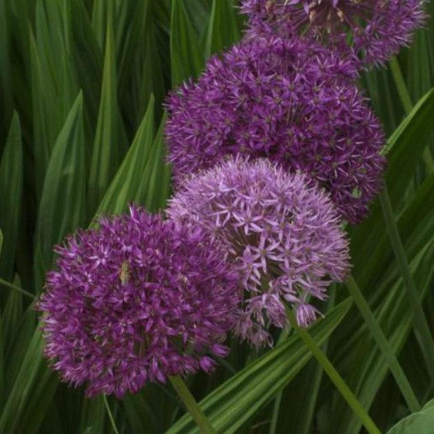 Allium aflatunense 'Purple Sensation' Picture David Pilling