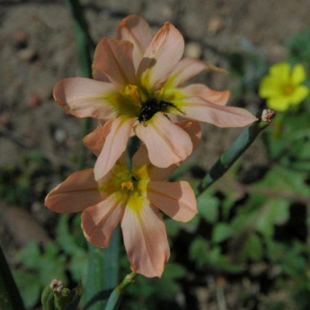 Homeria flaccida Picture Mary Sue Ittner