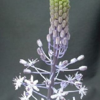 Scilla hyacinthoides Picture Angelo Porcelii