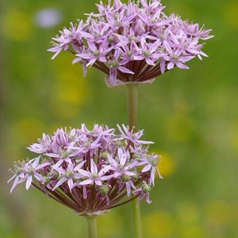 Allium nigrum Picture Fiona Dunbar