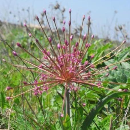 Allium schubertii Picture Oron Peri