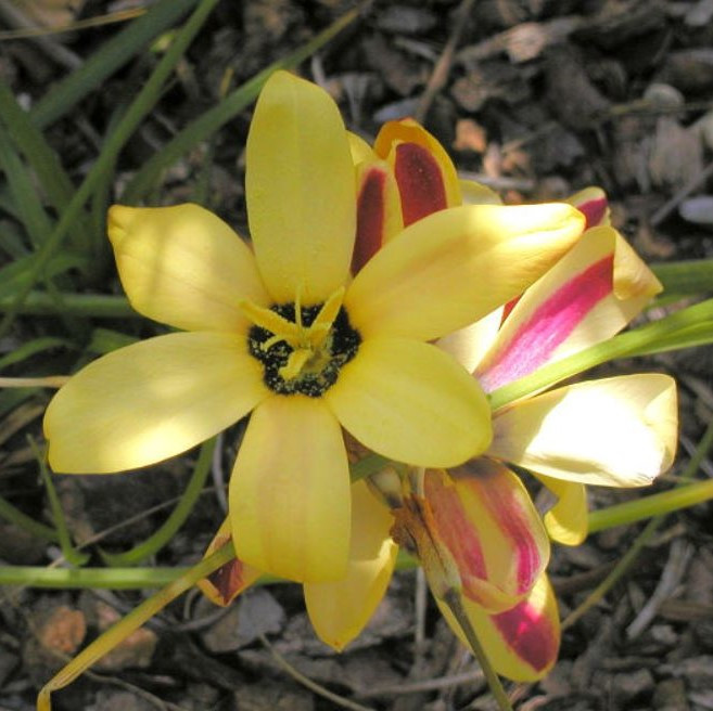 Ixia dubia Picture Mary Sue Ittner