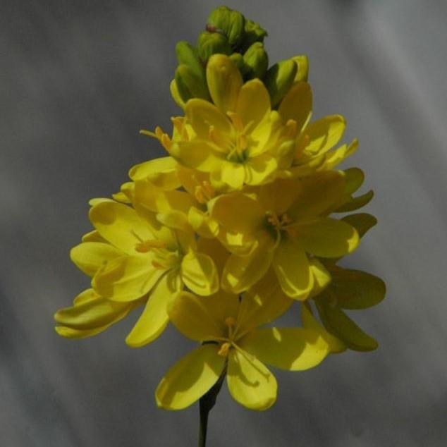 Ixia odorata Picture Mary Sue Ittner