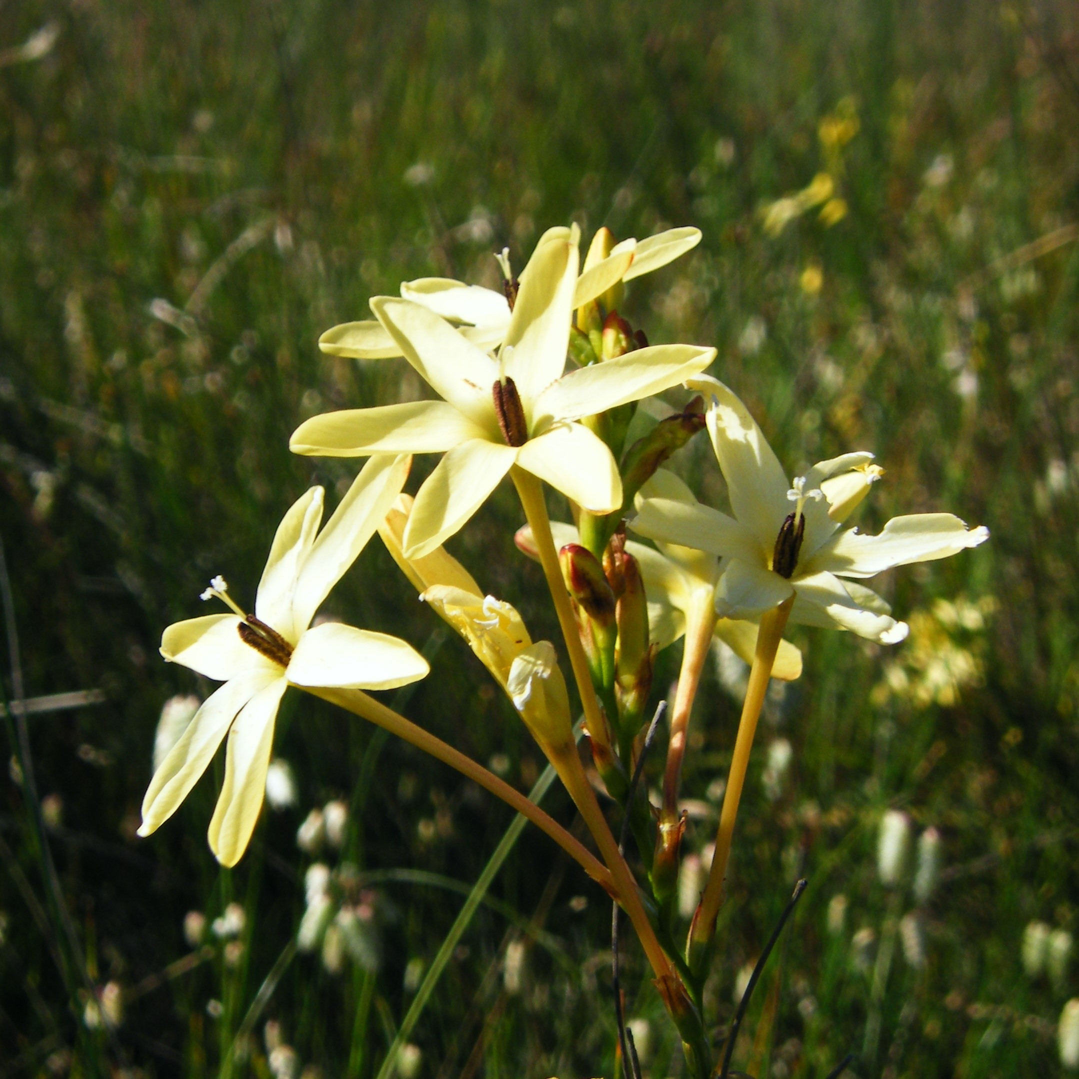 Ixia paniculatase up Picture Andrew massyn CC BY-SA 3.0