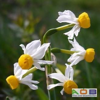 Narcis canaliculatus