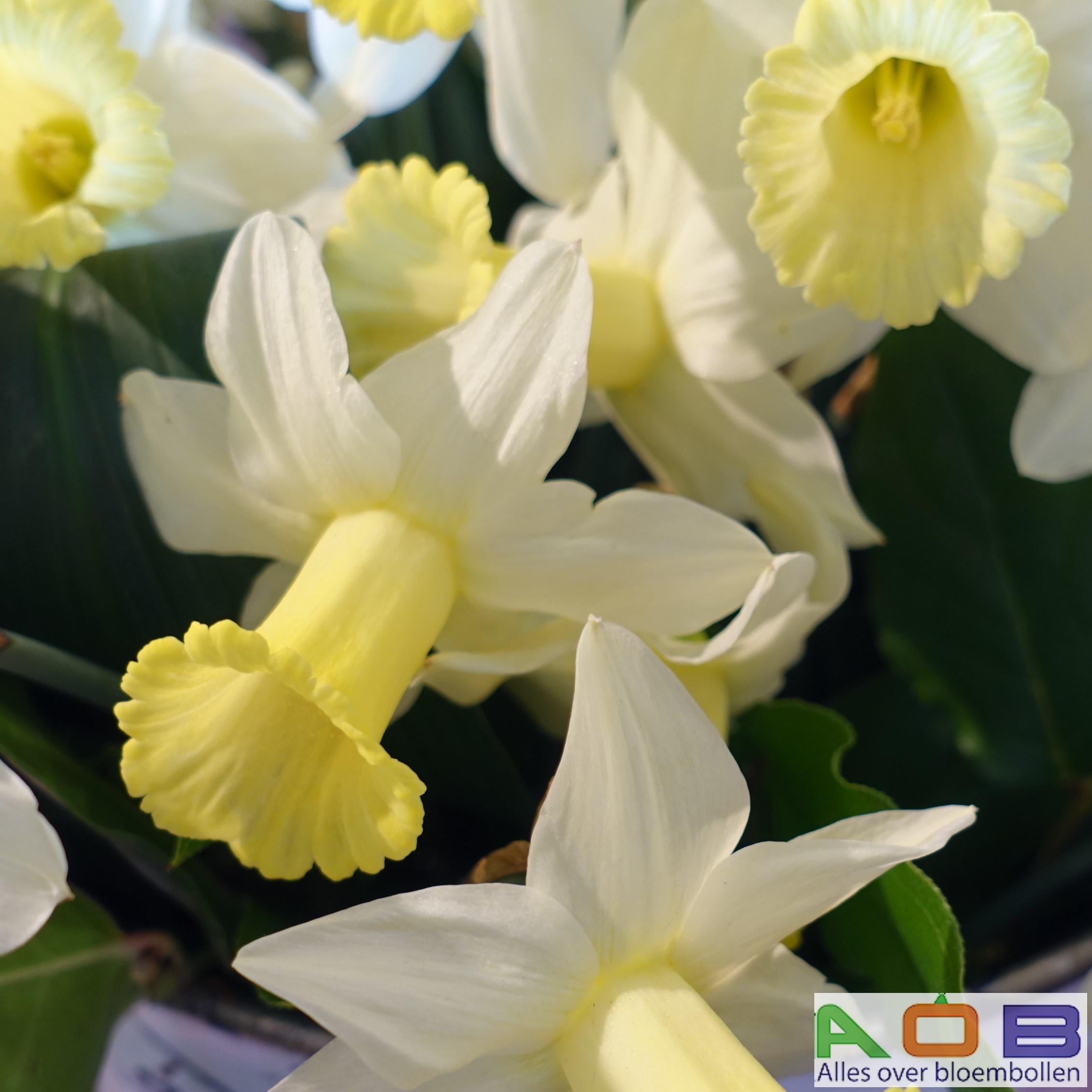 Narcissus 'Larkwhistle'