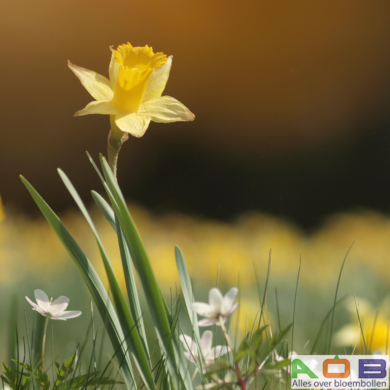 Narcissus lubolaris