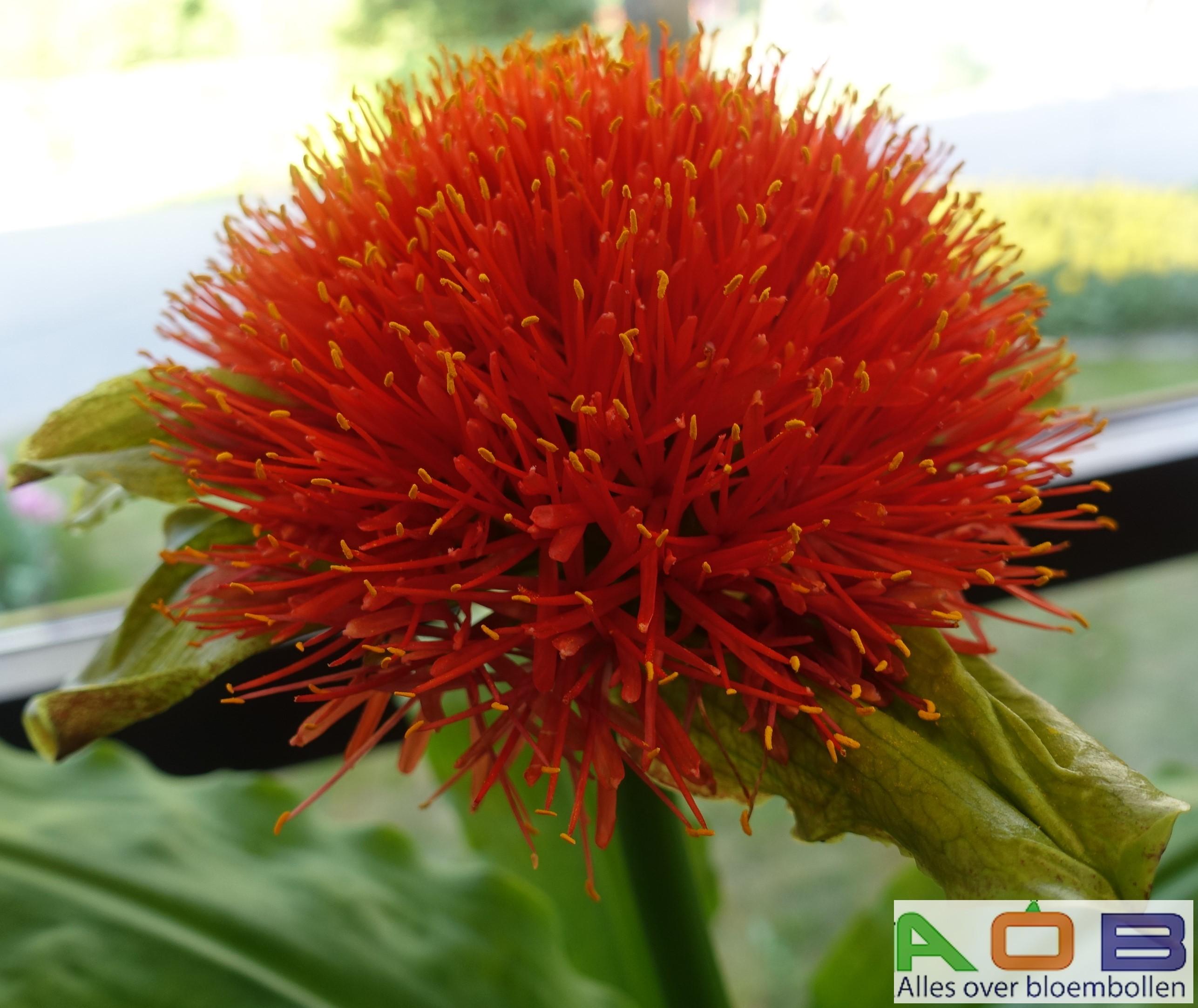 Scadoxus 'King of Orange'