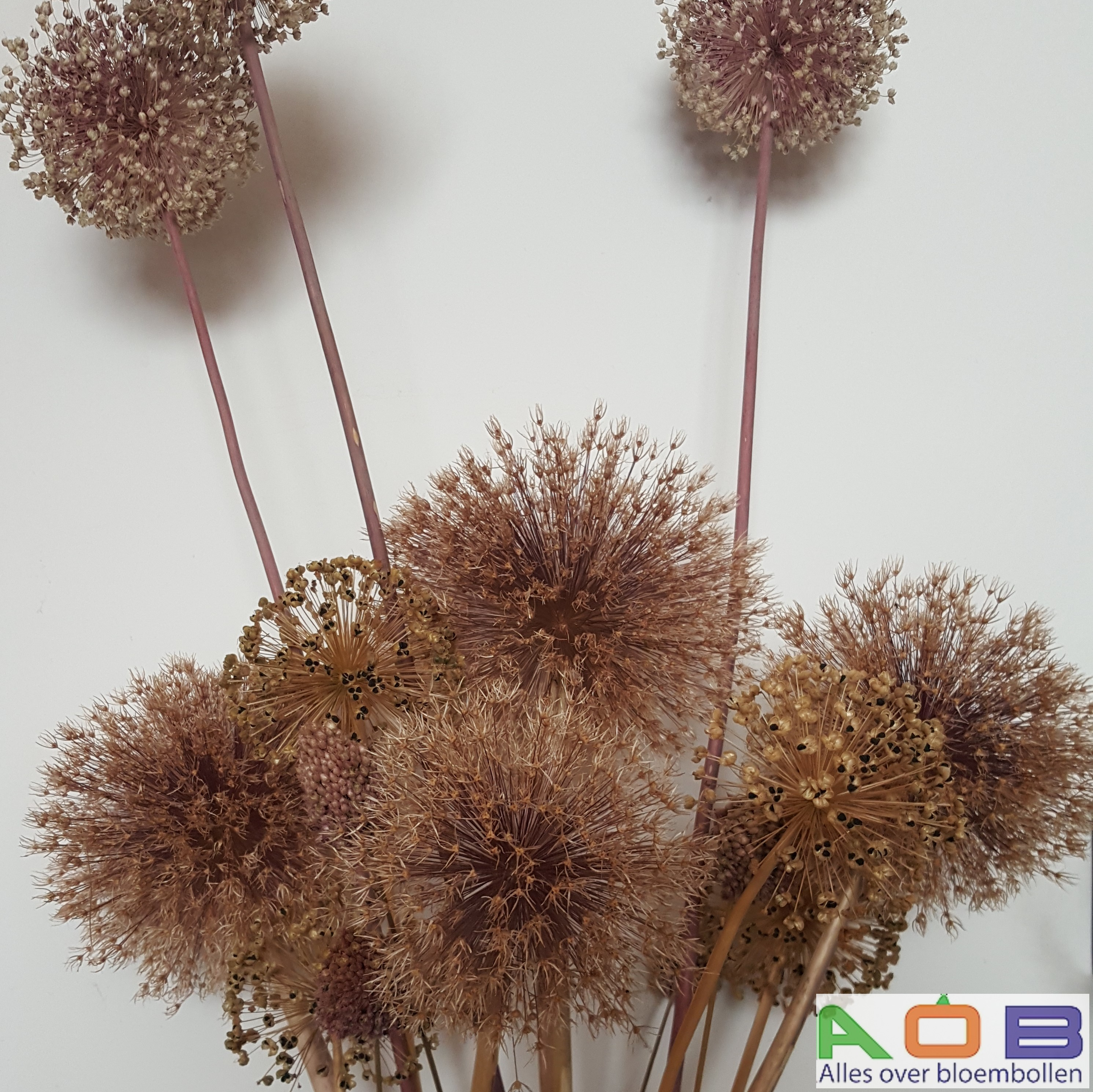 Droogbloemen Allium