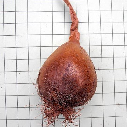 Colchicum Picture Mary Sue Ittner