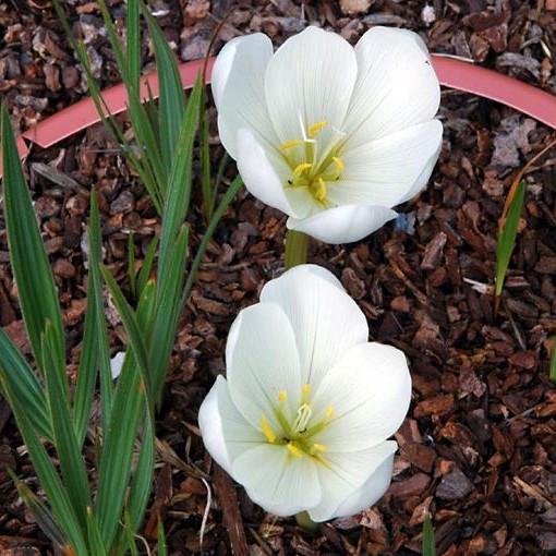 Colchicum speciosum 'Album' Picture Mary Sue Ittner