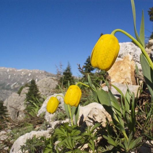 Fritillaria aurea Picture www.viranatura.com/Tours