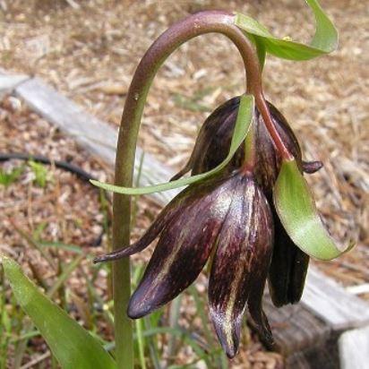 Fritillaria biflora Picture Mary Sue Ittner