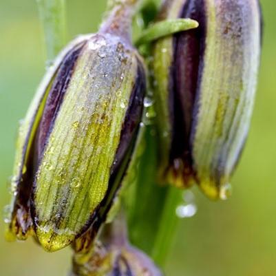 Fritillaria elwesii Picture www.viranatura.com