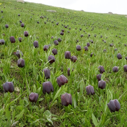 Fritillaria latifolia Picture www.viranatura.com/Tours