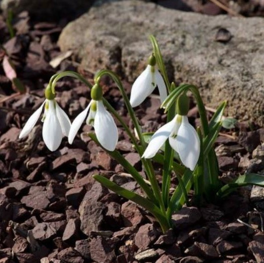Galanthus cilicicus Picture John Lonsdale, Edgewood Gardens