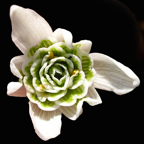 Galanthus nivalis 'flore pleno' Picture www.fleurs-des-montagnes.net