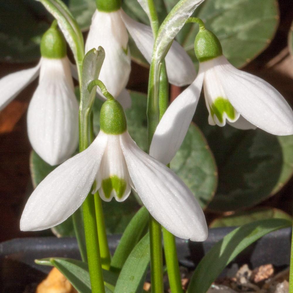 Galanthus transcaucasicus Picture John Lonsdale, Edgewood Gardens