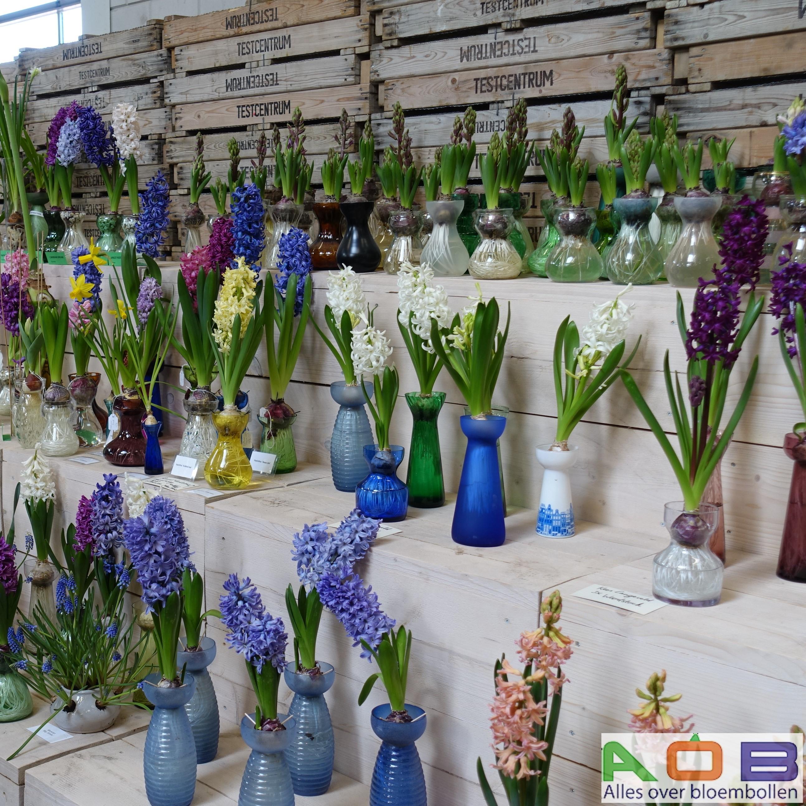 Hyacinten in glaasjes