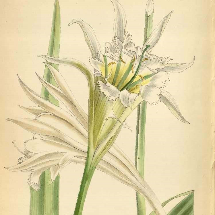Leptochiton quitoensis Curtis's Botanical Magazine 104 t. 6397