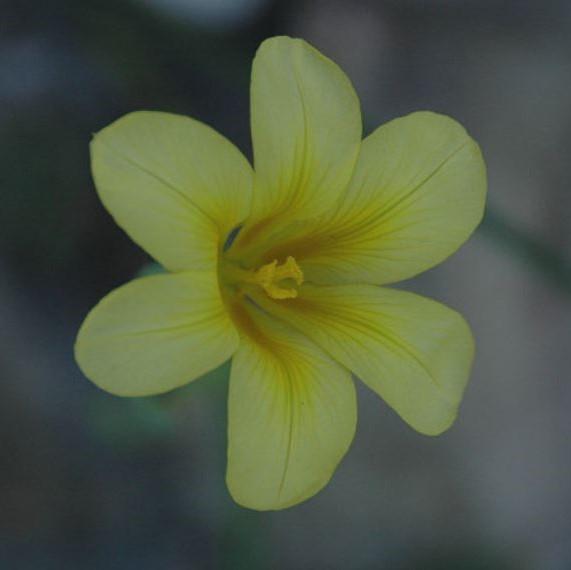 Moraea ochroleuca Picture Mary Sue Ittner