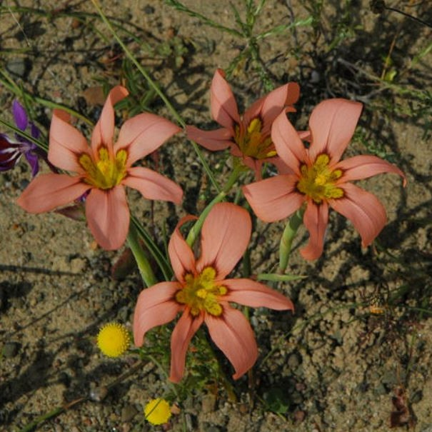 Moraea vallisbelli Picture Mary Sue Ittner