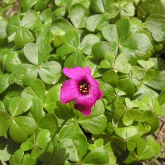 Oxalis brasiliensis Picture Mary Sue Ittner