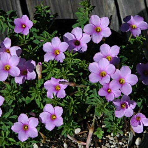 Oxalis hirta 'Mauve' Picture Mary Sue Ittner