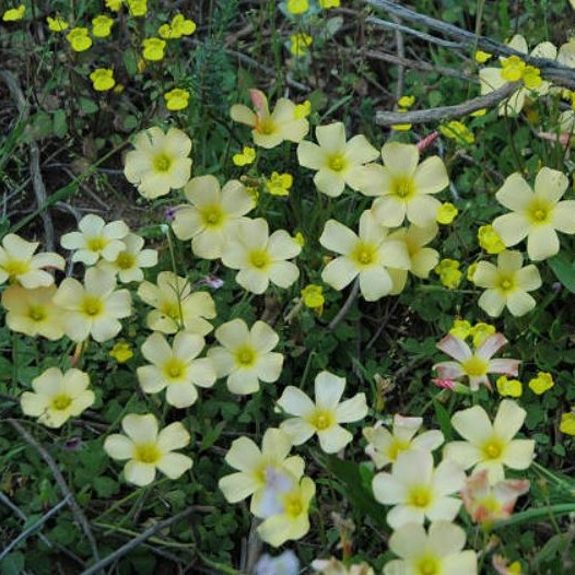 Oxalis obtusa Picture Mary Sue Ittner