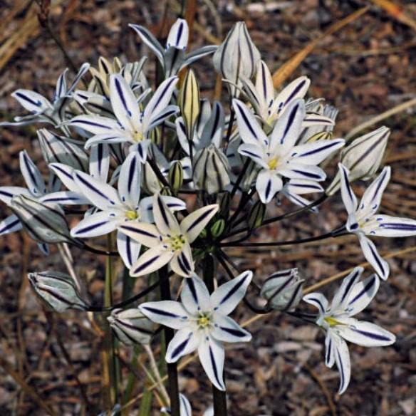 Triteleia hendersonii Picture Mary Sue Ittner