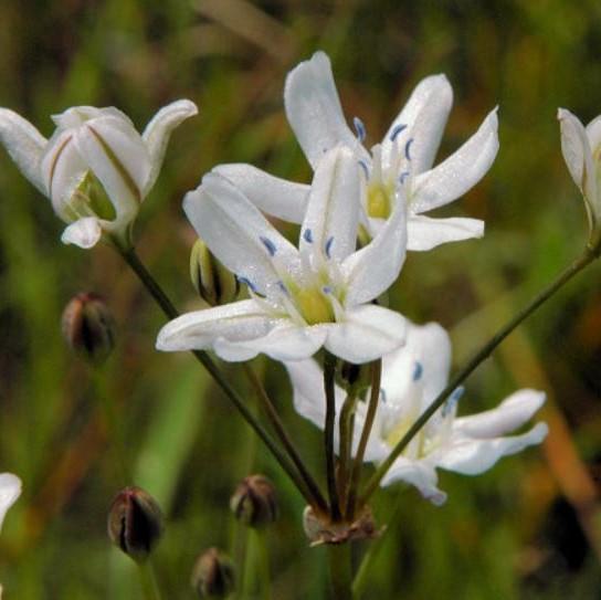 Triteleia lilacina Picture Mary Sue Ittner