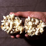 Uitgeholde hyacinten