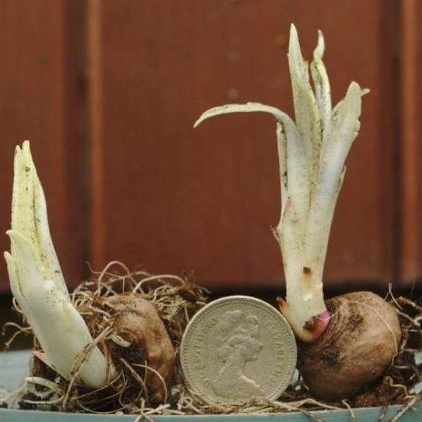 Liatris spicata knollen Picture David Pilling