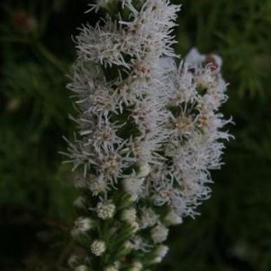 Liatris spicata wit Picture David Pilling