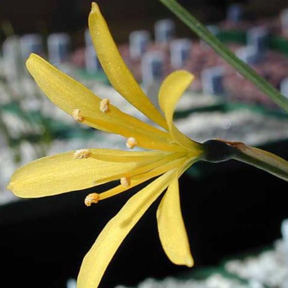 Narcissus cavanillesii Picture John Lonsdale, Edgewood Gardens