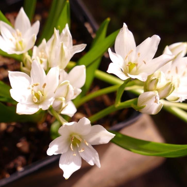 Ornithogalum oligophyllum 'White Trophy' Picture Marcus Mulder