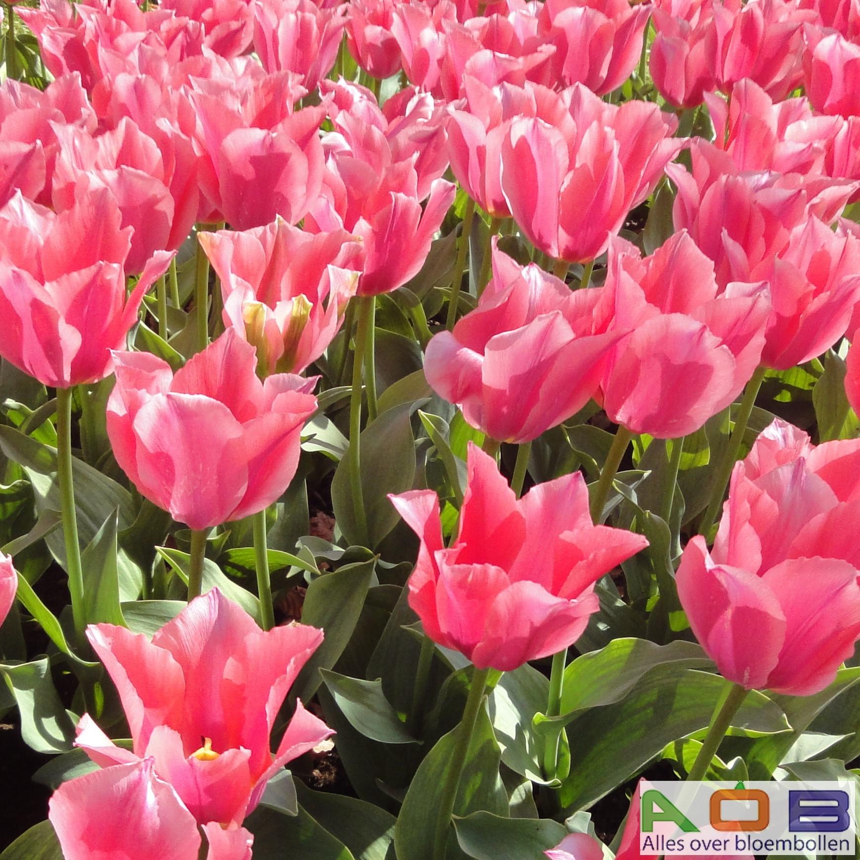 Tulipa fosteriana 'Albert Heijn'