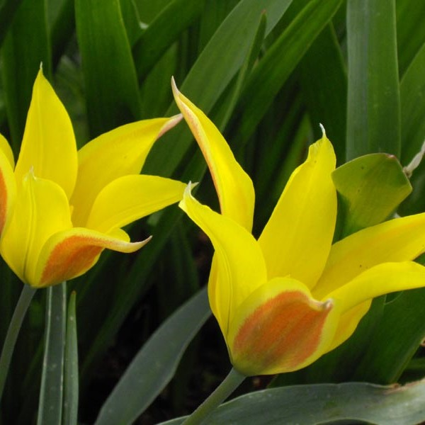 Tulipa altaica Picture www.fleurs-des-montagnes.net