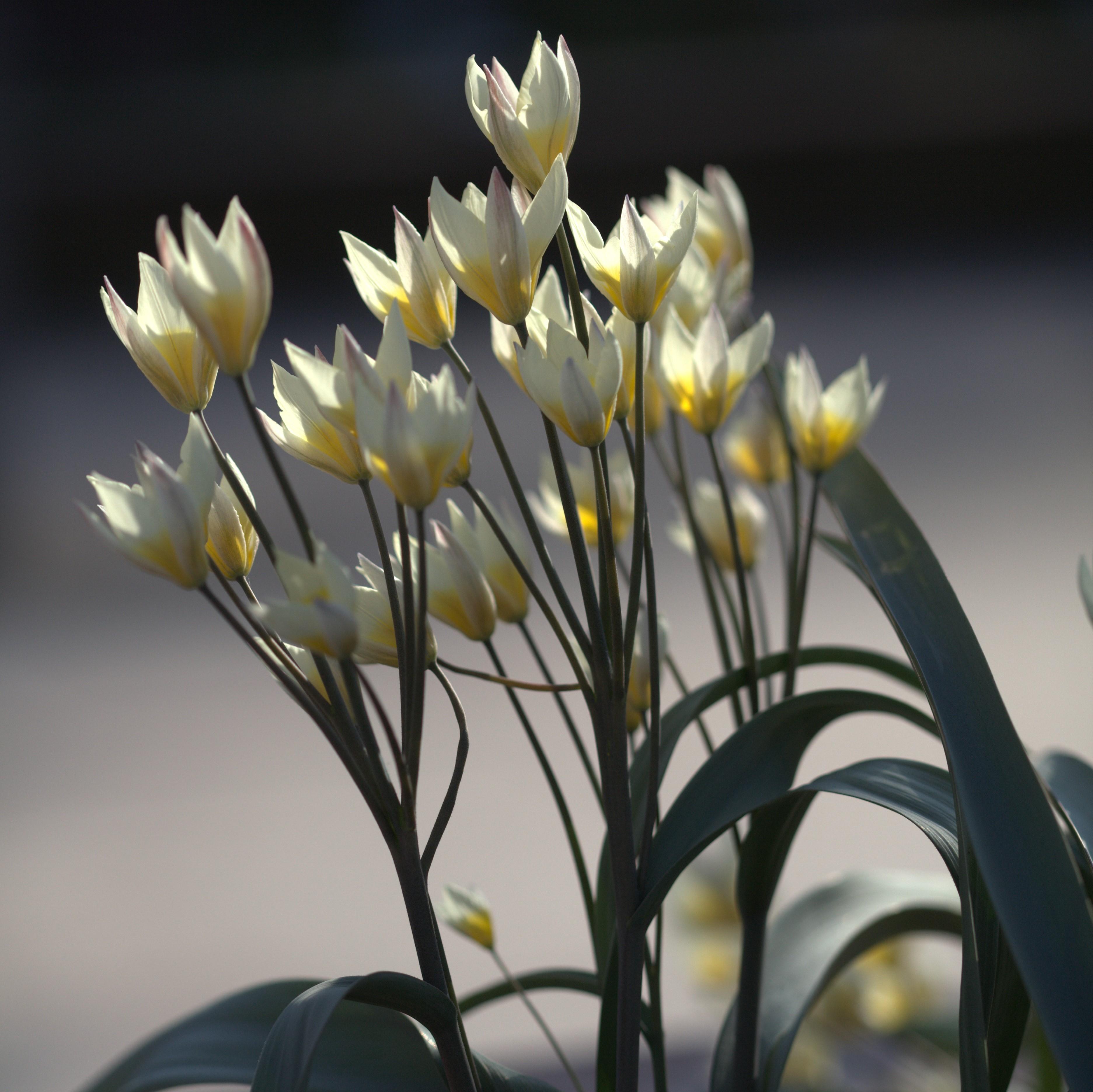 Tulipa bifloriformis Picture Gustav Svensson - averater.se - CC BY-SA 3.0