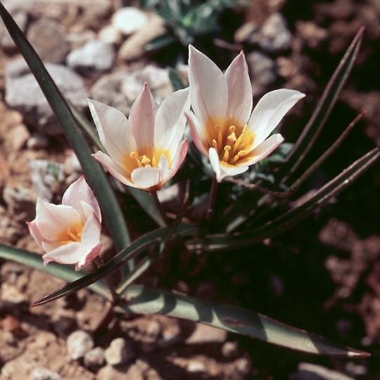 Tulipa cretica Picture www.stridvall.se