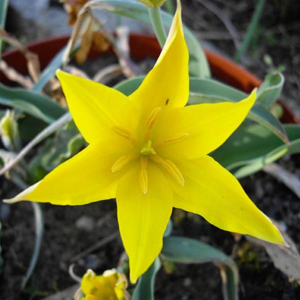 Tulipa kolpakowskiana Picture www.fleurs-des-montagens.net