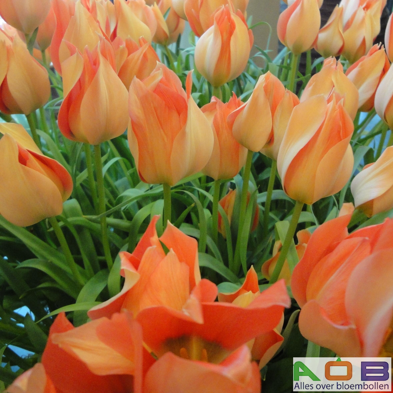 Tulipa linifolia 'Salmon Gem'