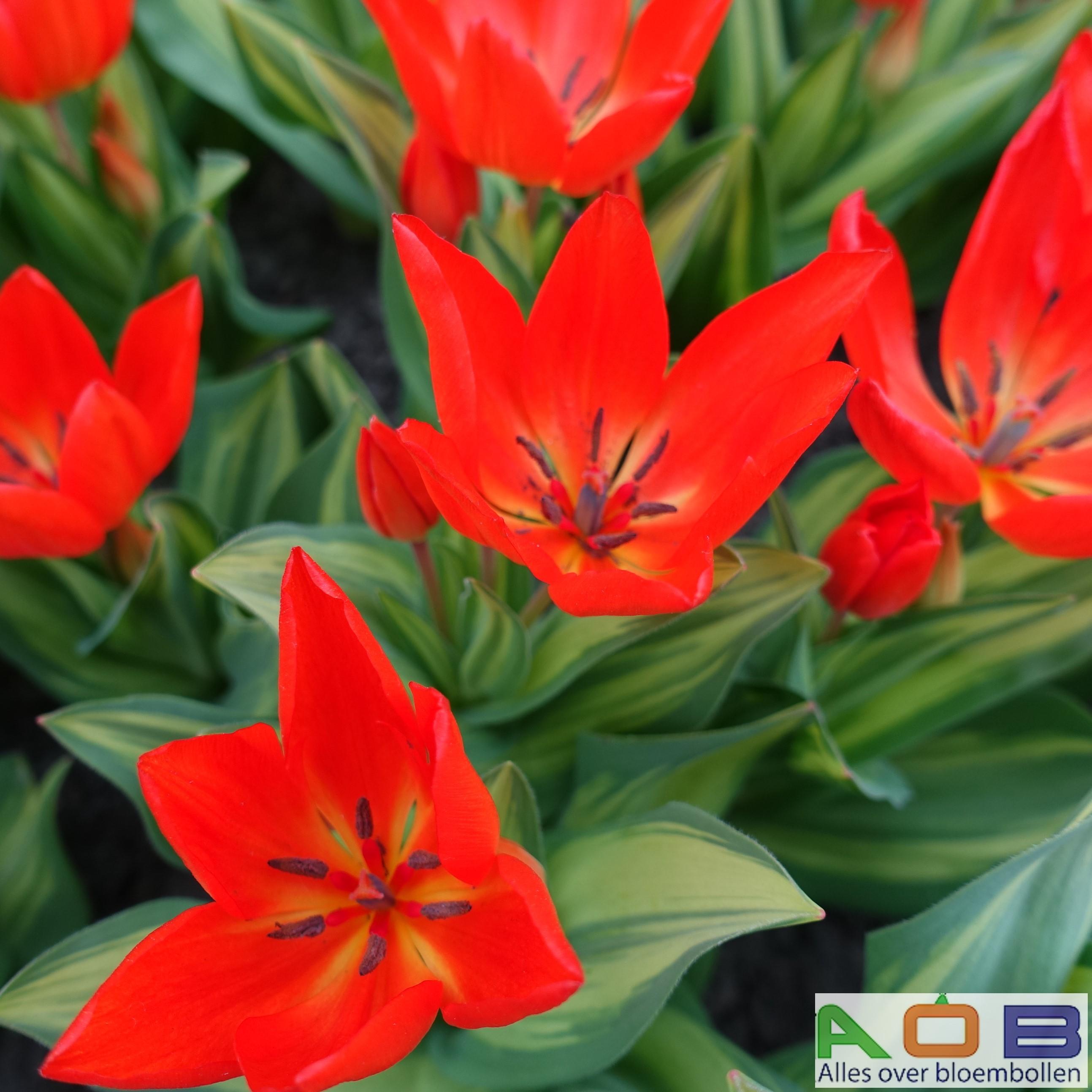 Tulipa praestans 'Paradox'