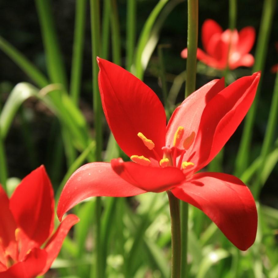 Tulipa sprengeri Picture Sten CC BY-SA 3.0