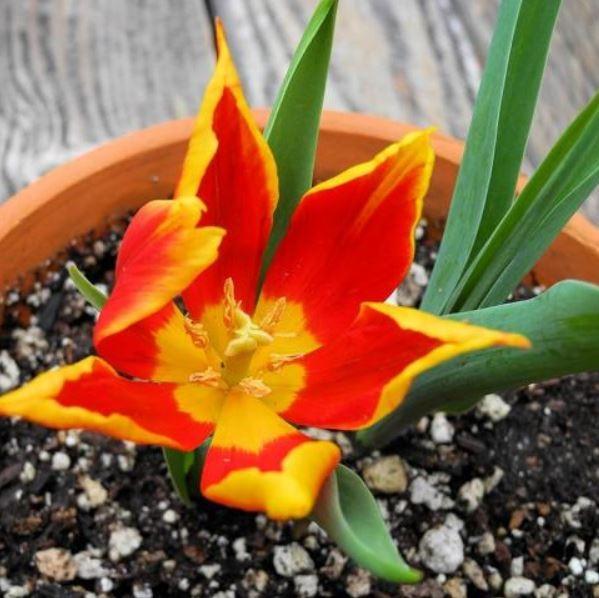 Tulipa suaveolens Picture Mary Sue Ittner